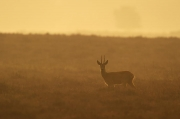Peter_van_der_Veen-Petersmoments- Roe deer morning backlight